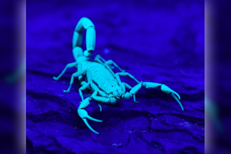 Animals,Purple,Blue,Colour,exoskeleton,fluorescent ,Glow,UV light,Babies,Mother,Scorpion,